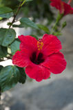Red campanula flowers in close-up shoot in Garden Bodrum Stock Images