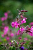 Red campion royalty free stock image
