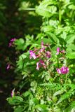 Red campion flowers Royalty Free Stock Images