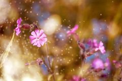 Red Campion, Pointed Flower, Flower Stock Photos