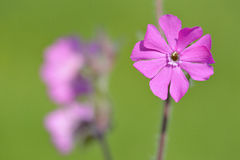 Red campion (Silene diocia) Royalty Free Stock Photo