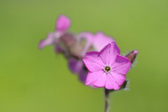 Red campion (Silene diocia) Royalty Free Stock Photography