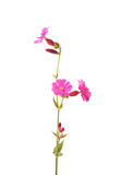 Red campion (Silene dioica) Stock Photos