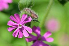 Red campion silene dioica. Macro shot of a red campion silene dioica flower in bloom stock photos