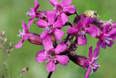 Red Campion silene dioica shot in in a field on beautiful summer evening. Royalty Free Stock Image