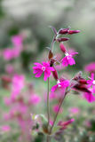 Red campion Stock Images