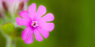 Red campion Stock Photos