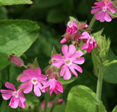 Red Campion Wild Flowers Royalty Free Stock Photography