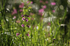 Red campion wild flowers - silene dioica Royalty Free Stock Images