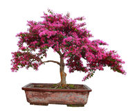 Red camwood bonsai. Isolated on white background Royalty Free Stock Photo