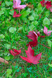 Red canadian maple leaf on grass Stock Photos