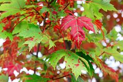 Red canadian maple leaf on tree Stock Photos
