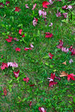 Red canadian maple leaves on grass Stock Photo