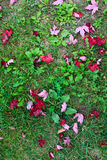 Red canadian maple leaves on grass Royalty Free Stock Images