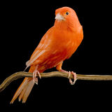 Red canary on its perch Royalty Free Stock Photo