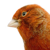 Red canary on its perch Royalty Free Stock Photos