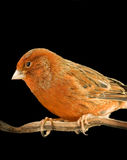 Red canary on its perch Stock Photography