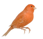 Red canary, Serinus canaria, perched Stock Image