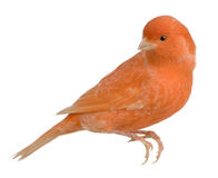 Red canary, Serinus canaria, perched Royalty Free Stock Photography