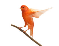 Red canary Serinus canaria, perched on a branch. Against white background Stock Image