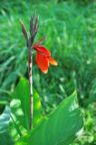 Red Canna Against Green. Nice red canna in bloom against green background Stock Photography