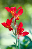 Red canna flower Stock Photography