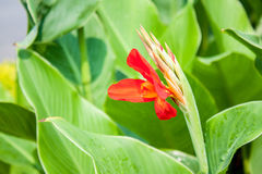 Red canna flower close up Stock Photos