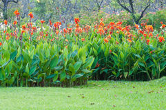 Red canna flower Stock Photos