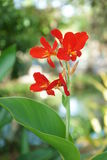 Red Canna flower Royalty Free Stock Images