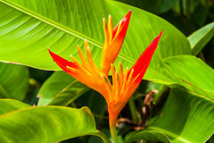 Red canna flower Royalty Free Stock Photo