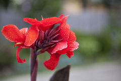 Red Canna. Stock Images