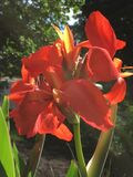 Red Canna flowers in garden. Close up of red Canna flowers blooming in sunny garden Royalty Free Stock Image