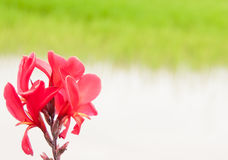 Red Canna lilly in garden. With blur background Royalty Free Stock Photos