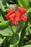 Red canna lily Stock Photos
