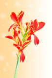 Red Canna lily isolated sweet background Royalty Free Stock Image