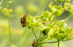 Red  cantharidae  insect Royalty Free Stock Images