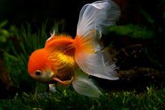 Red cap. Oranda goldfish, close up. Aquarium Royalty Free Stock Photography