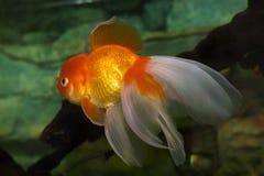 Red cap. Oranda goldfish, close up. Aquarium Stock Photo