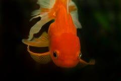 Red cap. Oranda goldfish, close up. Aquarium Royalty Free Stock Images