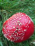 Red Fly agaric fungi stock photo