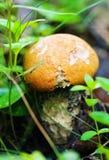 Red cap mushroom Stock Images