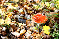Red cap mushroom on the autumn fall forest Royalty Free Stock Photo