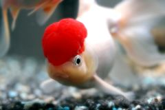 Red cap oranda Royalty Free Stock Photo