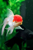 Red cap oranda and a black goldfish at background stock photos