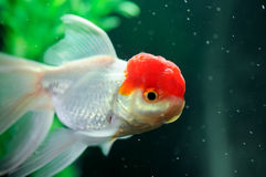 Red cap oranda fish Royalty Free Stock Images