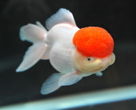 Red cap oranda goldfish Royalty Free Stock Photo