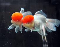 Red cap oranda goldfish Stock Photo