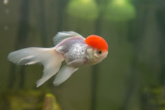 Red cap oranda goldfish Royalty Free Stock Photography