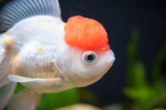 Red Cap Oranda Goldfish stock photo