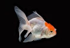 Red Cap Oranda Goldfish Isolated Stock Photo